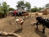 Cattle keeping-Youth Soroti  diocese a
