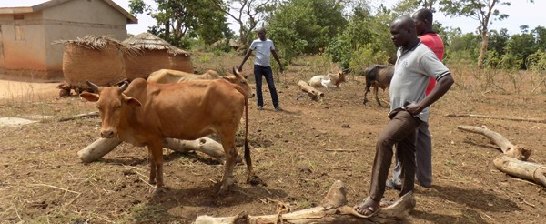 Cattle keeping-Youth Soroti  diocese